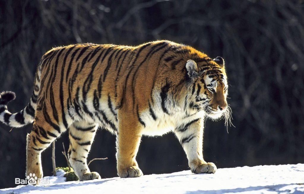 当老虎失去自由,天津一老虎骨瘦如柴