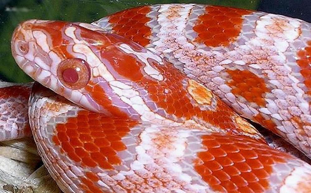 玉米锦蛇图集
