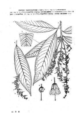 色阁�_壮丽桤叶树
