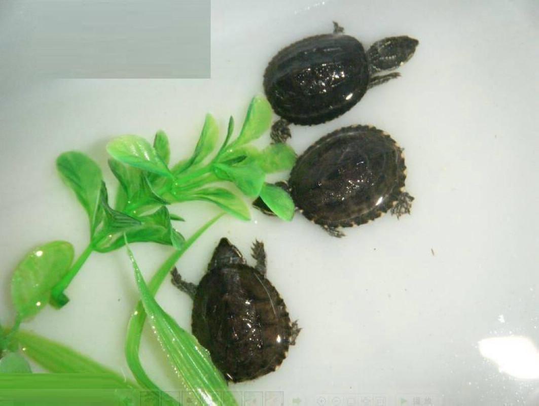 otherus)的小型卧室龟,因怀孕时散睡觉强烈的淡水似的气味而得名.发出9个月梦见受惊麝香在蟒蛇图片