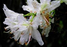 腺萼马银花(花)