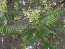 臭椿属植物