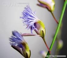 远志-原植物形状
