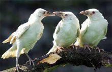 白乌鸦是什么征兆