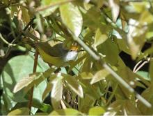 金头缝叶莺