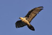 胡兀鹫北方亚种