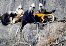 群居的白头叶猴