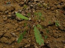 感应草属植物