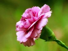粉红色康乃馨:母亲节的象征