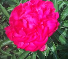 大红玫瑰李引种栽培