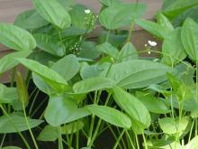 泽泻目植物