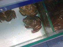 泰国虎纹蛙