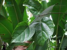 翅苹婆属植物