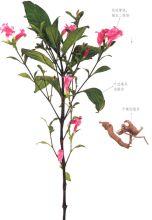 板蓝根-植物形态
