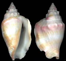 白西非凤凰螺