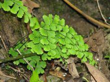 铁线蕨科物种