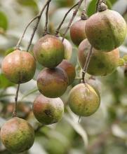 岑溪软枝油茶图片
