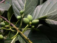 云南蓝果树