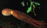 北太平洋狮子巨型图册处对章鱼图片