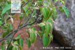 五柱滇山茶枝叶