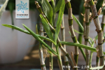 黄石斛根茎