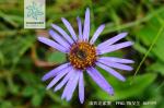 滇西北紫菀花果