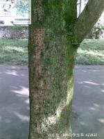 山玉兰根茎