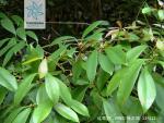 红毒茴枝叶