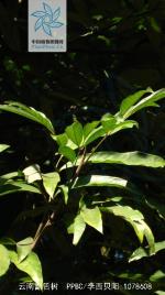 云南割舌树枝叶