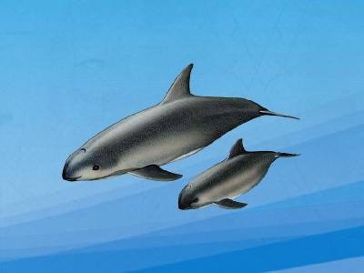 南美鼠海豚