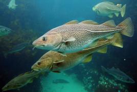 大西洋鳕鱼