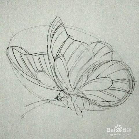 同样用铅笔轻轻描绘出蝴蝶的细节,注意:掌握蝴蝶的翅羽线条结构以及下图片