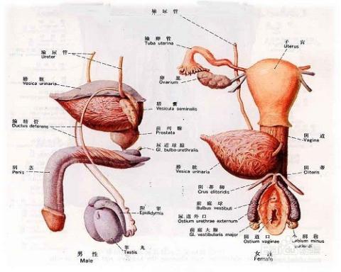 解剖男尸生殖系统 图
