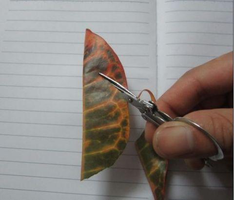 教你如何用叶子制作乌龟标本图片