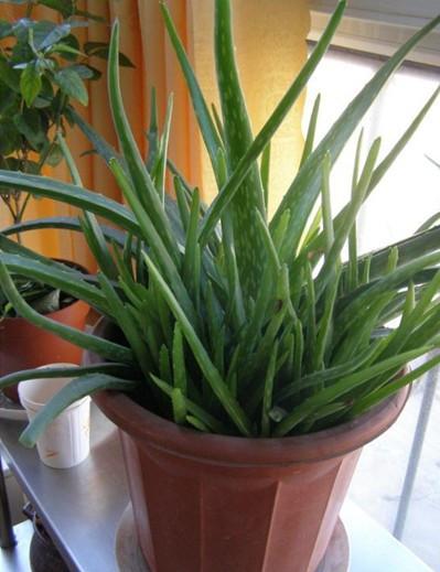 什么植物吸收甲醛?