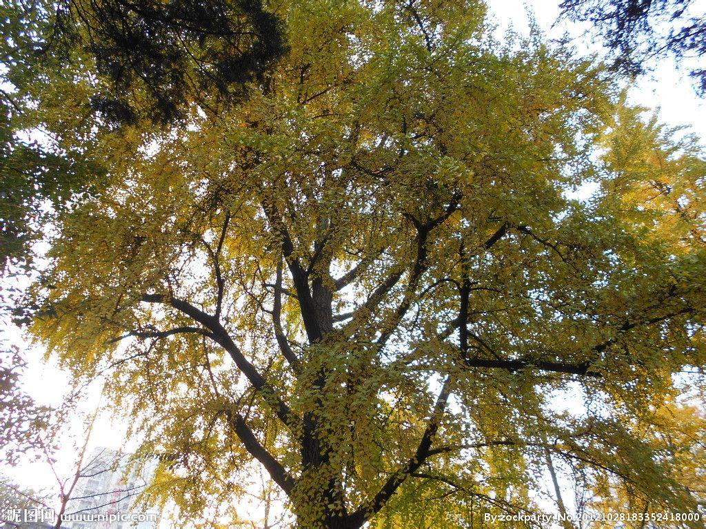 银杏树树叶图片 银杏树阅读答案 银杏树图片和资料