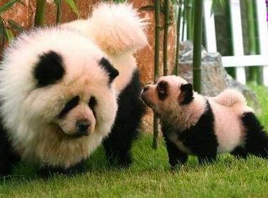 有人说藏獒能虐大熊猫?看过此视频再说话