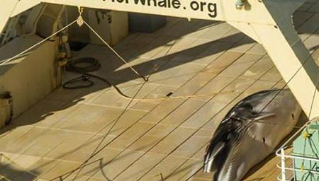 日本又在南极偷猎鲸鱼 发现被拍立即遮掩