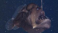 """美国海岸拍到深海怪鱼 长相骇人似""""魔鬼"""""""