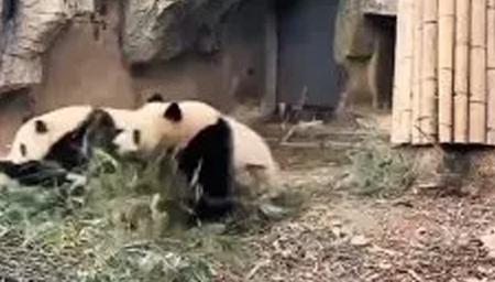 地震时大熊猫五秒上树