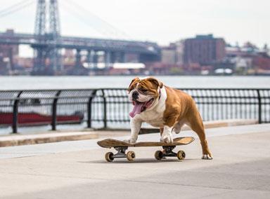 斗牛犬超溜玩滑板,直滑带拐弯