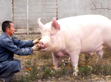 猪喝井水3年长到1千斤