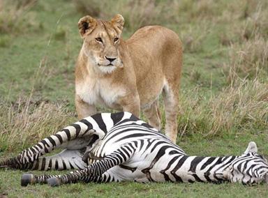 狮子VS斑马 原来斑马也有那么强的力量!