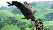 实拍:苍鹰捕食剧毒海蛇全过程 亮瞎眼