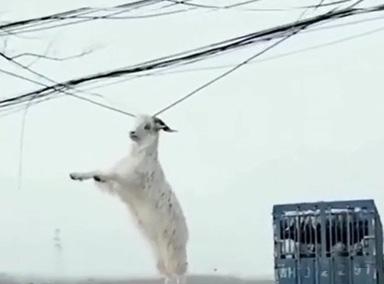 奇观!货车转弯 羊被挂电线上飘荡