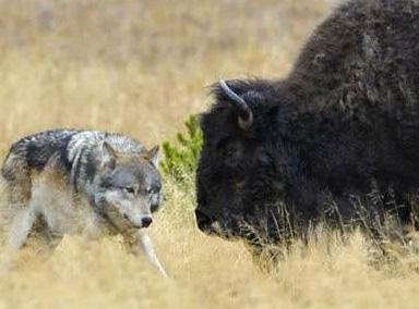 高原上的灰狼居然敢和野牛大战,太牛了