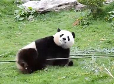 """真功夫熊猫!熊猫一本正经""""舞枪弄棒"""""""