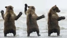 萌萌哒!自然学家和棕熊宝宝打闹嬉戏
