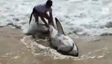实拍大白鲨海滩搁浅 被众人营救拖进海里