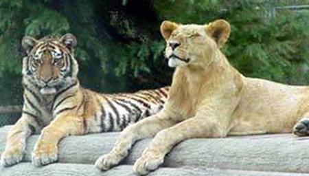 老虎和狮子干仗谁更厉害 历史和现实告诉你答案